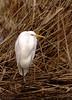Silberreiher 8.1.18 (2) (Sven B. 1978) Tags: silberreiher reiher vogel