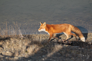 Morning Light on a Red Fox