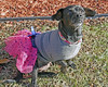 Mia 2  (13) (AbbyB.) Tags: dog canine shelter pet rescue adopt dachshund mtpleasantanimalshelter easthanovernj newjersey shelterpet petphotography