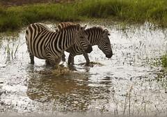 Zebra Reflections (liam.ragan) Tags: animal wildlife nature creature alive life reflection zebra zebras stripyhorse water wateringhole drink drinking kenya nairobi nairobinationalpark savanna