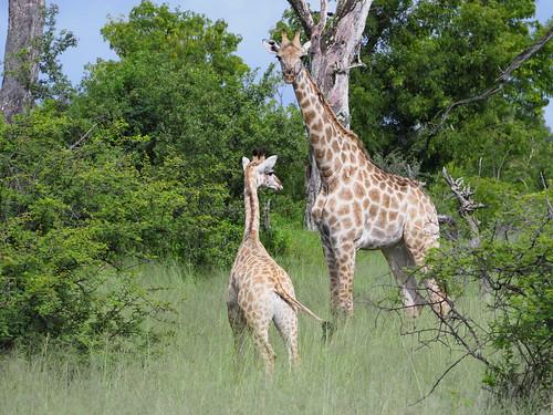 Girafe - Hwange - Zimbabwe 2018