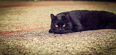 patiently waiting. (Pepenera) Tags: cat cats black gatto gato gatti