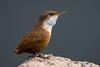 Canyon Wren (Eric Gofreed) Tags: arizona canyonwren montezumawell wren yavapaicounty ngc