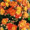 Cores da natureza. #flores #flowers #borboletas #naturalbeauty #natureza #naturephotography #jardim #floreslindas #revistaxapury #eunotg #criacaodedeus #obradivina #instaflowers #instaflores #motox2 #instamotox2 #garden #floricultura #intagram #instalike (ederrabello2014) Tags: floricultura instamotox2 motox2 borboletas naturephotography instalike brwildanimals3anos flowersofinstagram naturalbeauty eunotg natureza obradivina butterflyshow jardim instaflores flowers floreslindas flores revistaxapury flowerstagram flowersbouquet intagram criacaodedeus brwildanimals flowerslovers instaflowers intagrambrasil garden flower colour color