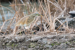 Garcilla cangrejera (Ardeola ralloides) (Enrique Fernandez Fernandez) Tags: 2018 aves garcillacangrejera lugares pnalbuferavalencia naturaleza ardeolaralloides