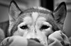 _DSC0093 (classic77) Tags: sleeping dog canine mans best friend pet rained in siberian husky