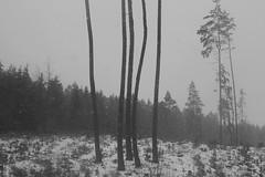 black strings (Mindaugas Buivydas) Tags: lithuania bw winter january snow snowstorm blizzard tree trees pine lietuva mood moody paneriaiforest paneriųmiškas mindaugasbuivydas forest sadnature