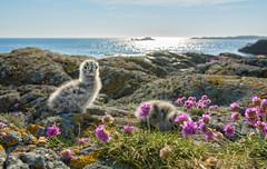 Treasures of June (Ranveig Marie Photography) Tags: bømlo norway toska seagulls seagullchicks chicks birds fugleunger måke måse måkeunger explore explored