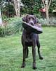 Willow (DakotaChelle) Tags: chocolatelabrador labrador dogs