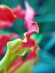 Macro flamme d'un pétale bicolore d'une fleur sauvage de Tahiti (Christian Chene Tahiti) Tags: samsung s7e téléphone macro flore tahiti pf polynésiefrançaise frenchpolynesia fleur flores flower couleur coloujr jardin nature fleurdepolynésie floredepolynésie floredetahiti fleurdesîles fleurdetahiti pollen paea jaune rouge vert bleu plante pétale bokeh closeup closer extérieur