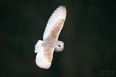 Barn Owl (Tyto alba) (benstaceyphotography) Tags: owl birdofprey birdinflight hunting hunter 500mmf4gedvr d800e ukwildlife wildlife northwales nature bird nikon bif flying flight tytoalba barnowl