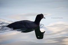 side view of australian coot swimming on calm water with reflection (hueymilunz) Tags: nature nz newzealandtransition newzealand hawkesbay bird fauna florafauna water reflection