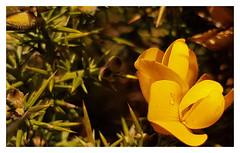 Ulex europaeus (aka OUCH!!) (mandysp8) Tags: ulex gorse yellow flower dew morning winter uk