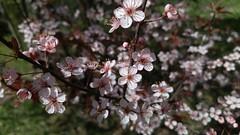Anglų lietuvių žodynas. Žodis blossom reiškia 1. n žiedas, žydėjimas; 2. v žydėti lietuviškai.
