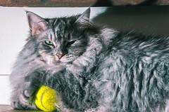 Mine (Dimitri biemond) Tags: cat cats grey tennis yellow dimitri cute