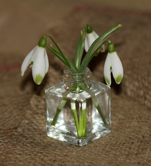 In a Bottle! (RiverCrouchWalker) Tags: inabottle macromondays snowdrops bottle flowers hessian stems water glass