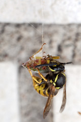 The Food Thief - _TNY_3055 (Calle Söderberg) Tags: macro canon canon5dmkii canoneos5dmarkii canonmpe65mmf2815x mpe65 insect flash meike mk300 glassdiffusor wasp geting vanliggeting vespula vulgaris bärfis grönbärfis thif steal stealing spiderweb haning upsidedown cutout palomena prasina gröntstinkfly stinkfly shieldbug greenshieldbug lunch pentatomomorpha hemiptera pentatomoidea pentatomidae pentatominae nezarini greenstinkbug stinkbug string commonwasp europeanwasp yellowjacket commonyellowjacket vespoidea vespidae socialgeting jordgeting socialwasp vespinae robber thread green yellow