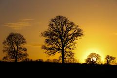 Tree Silhouettes (A Costigan (Off for a while)) Tags: trees silhouettes sunset dusk sundown sun nature outdoor cartonhouse carton kildare ireland ngc