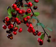 _MG_3216.CR2 (jalexartis) Tags: winter winterberries pyracantha firethorn firethornpyracantha pyracanthaberries lighting