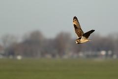 Velduil - Asio flammeus - Short-eared Owl (merijnloeve) Tags: velduil asio flammeus shorteared owl noordeloos zuid holland zuidholland nederland uil uilen owls vogels roofvogels