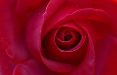 For Valentine's Day (Englepip) Tags: macro red rose plant flower valentine
