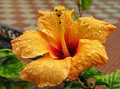 Peach Drops! ('cosmicgirl1960' NEW CANON CAMERA) Tags: hibiscus flowers worldflowers tropical exotic raindrops waterdrops green orange red yellow parks gardens nature marbella spain espana andalusia costadelsol travel holidays yabbadabbadoo