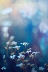 Blue (Borislav Aleksiev) Tags: blue white flowers bokeh nikon light nature