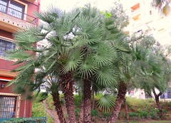 Palm Swirls! ('cosmicgirl1960' NEW CANON CAMERA) Tags: flowers worldflowers trees green marbella spain espana andalusia costadelsol parks gardens nature travel holidays yabbadabbadoo
