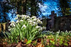 Churchyard Snowdrops (jayneboo) Tags: snowdrops churchyard gravestones cross condover shropshire sunlight growth spring bulbs