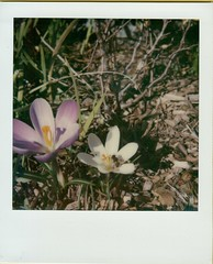 Crocuses (ifleming) Tags: 600colourfilm crocuses impossibleproject sx70 sx70600 polaroid