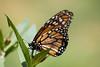 Volviendo a empezar (Letua) Tags: butterfly green jardin mariposa monarca naranja naturaleza nature orange verde