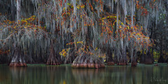 Into the Bayou (Willie Huang Photo) Tags: bayou southeast swamps cypress baldcypress trees autumn foliage colors mississippi river lake south landscape nature scenic