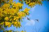 25 febbraio 2018 (adrianaaprati) Tags: albero fiorito fioritura giallo cielo nuvole anatre germani volo ali natura parco mimosa