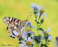 Painted Lady (Bob the Birdman and All Around Nature Guy) Tags: paintedlady vanessacardui robertmiesner bobthebirdman butterfly insect animal wildlife nature macro