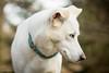 sweet (Anja Schruba) Tags: husky huskymix dog