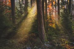 Follow Me Into The Woods - 16/365 (der_peste) Tags: sunray raysoflight sunbeam sunlight autumn winter fall moody forest tree trees woods woodland bavaria germany ambiance light