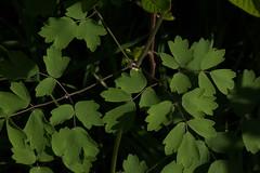 jdy129bpleplbloRbgbYardeloBgr3EgrXX20110509a6252.jpg (rachelgreenbelt) Tags: ghigreenbelthomesinc usa thalictrum colorswhiteyellowgreen greenbelt northamerica midatlanticregion ouryard orderranunculales eudicots familyranunculaceae colorgreen maryland americas thalictrumall magnoliophyta floweringplants ranunculaceae ranunculaceaefamily ranunculales ranunculalesorder spermatophytes