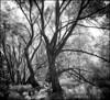 2013-09_D70_1977_20171204NB (Réal Filion) Tags: québec canada domainedemaizerets parc vert arbre forêt environnement noiretblanc blackandwhite park green tree forest environment quebec