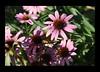 Duke Gardens July 2015 9.10.29 PM (LaPajamas) Tags: nc flora dukegardens gardens