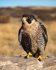 Horus (droy0521) Tags: grass rock wildlife winter sunrise prairie bird birdsofprey outdoors sky places colorado peregrinefalcon animal