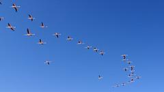 142 Flamingos,  Laguna de Chaxa (roving_spirits) Tags: chile atacama atacamawüste atacamadesert desiertodeatacama désertcôtier küstenwüste desiertocostero coastaldesert
