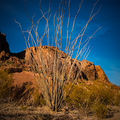 Ocotillo at Indian Head Trail