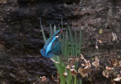Kingfisher in action (Mukumbura) Tags: kingfisher bird fish fishing catch water splash flying wildlife england alcedoatthis bishopspalace moat wells somerset nature wall rock