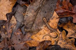 Three-lined Salamander (Eurycea guttolineata)