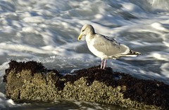 steady (Kristen Fletcher Photography) Tags: seagull ocean bay sea rockyshore rockycoast waves oceanwaves pacificgrove montereybay