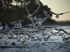last catch (gnarlydog) Tags: australia bird sea lowtide sunset lowlight manualfocus vintagelens jupiter11135mmf4 nature foreshore beach shallowdepthoffield