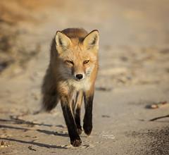 Fox On The Run (Tami Hrycak ッ) Tags: redfox fox wildlife nature tamihrycak naturesgiftscaptured newjersey wildnewjersey njnature creative nikond4s photoshop ibsp jerseyshore islandbeachstatepark beach specanimal