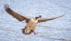 HERE I COME !!! (tresed47) Tags: 2018 201801jan 20180131eastmarylandbirds birds cambridge canadagoose canon7d content folder goose maryland pennsylvania peterscamera petersphotos places season takenby us winter ngc