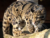 clouded leopard Ouwehands BB2A7236 (j.a.kok) Tags: luipaard leopard cloudedleopard neofelisnebulosa panter panther asia azie nevelpanter ouwehands animal mammal zoogdier dier kat cat