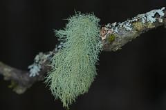 Lichen beard (Anders Toomus) Tags: lichen lav samblik